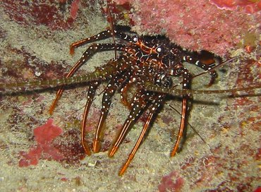 Spotted Spiny Lobster - Panulirus guttatus - Grand Cayman