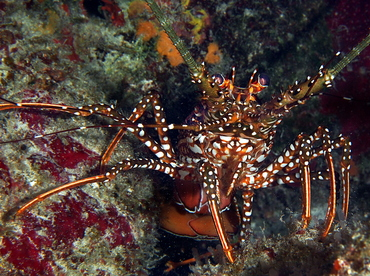 Spotted Spiny Lobster - Panulirus guttatus - Cozumel, Mexico