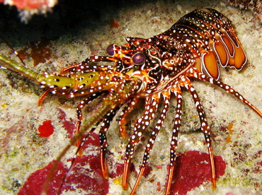 Spotted Spiny Lobster - Panulirus guttatus - Belize