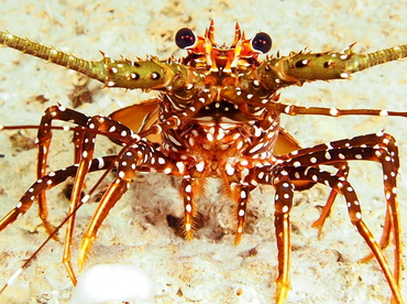 Spotted Spiny Lobster - Panulirus guttatus - The Exumas, Bahamas