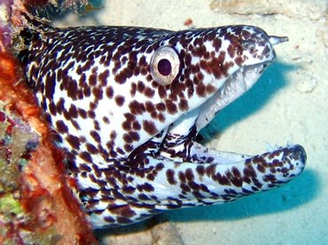Spotted Moray Eel - Gymnothorax moringa - Bonaire