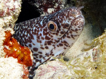 Spotted Moray Eel - Gymnothorax moringa - Grand Cayman
