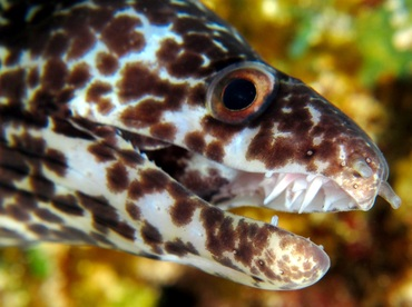 Spotted Moray Eel - Gymnothorax moringa - Cozumel, Mexico