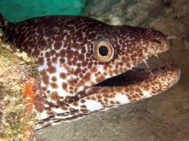 Spotted Moray Eel - Gymnothorax moringa - The Exumas, Bahamas