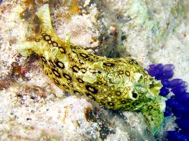 Spotted Sea Hare - Aplysia dactylomela - St Thomas, USVI