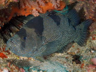 Bearded Soapfish - Pogonoperca punctata - Anilao, Philippines