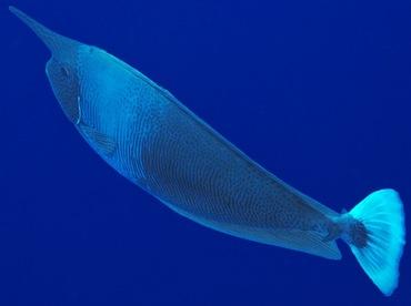 Spotted Unicornfish  - Naso brevirostris - Palau
