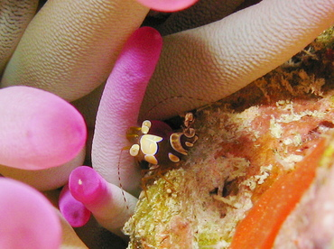 Squat Anemone Shrimp - Thor amboinensis - Grand Cayman
