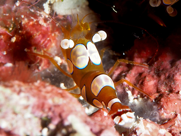 Squat Anemone Shrimp - Thor amboinensis - Great Barrier Reef, Australia