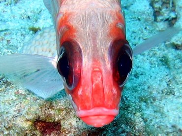 Squirrelfish - Holocentrus adscensionis - Nassau, Bahamas
