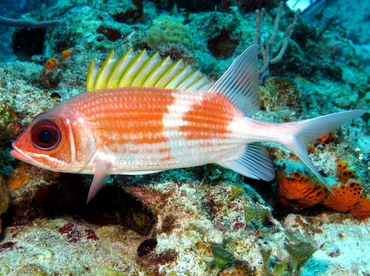 Squirrelfish - Holocentrus adscensionis - Cozumel, Mexico