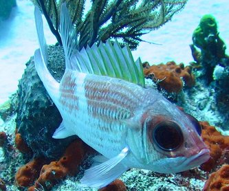 Squirrelfish - Holocentrus adscensionis - Turks and Caicos