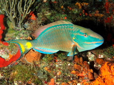 Stoplight Parrotfish - Sparisoma viride - Palm Beach, Florida