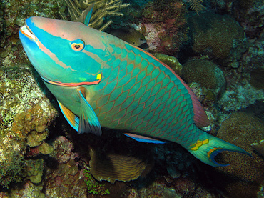 Stoplight Parrotfish - Sparisoma viride - Grand Cayman