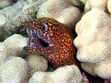 Stout Moray Eel - Gymnothorax eurostus - Big Island, Hawaii