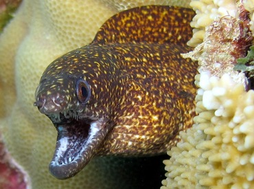 Stout Moray Eel - Gymnothorax eurostus - Maui, Hawaii