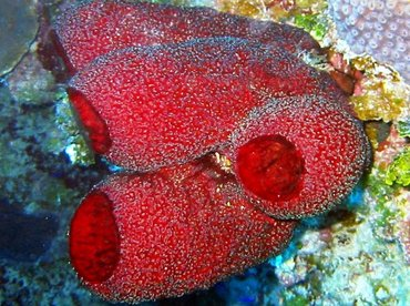 Strawberry Vase Sponge - Mycale laxissima - Little Cayman