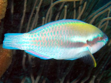 Striped Parrotfish - Scarus iserti - Bonaire