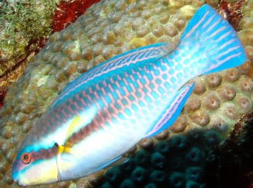 Striped Parrotfish - Scarus iserti - Aruba