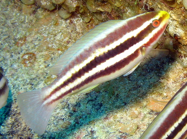 Striped Parrotfish - Scarus iserti - Grand Cayman