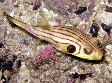 Striped Puffer - Arothron manilensis - Palau