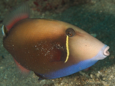 Flagtail Triggerfish - Sufflamen chrysopterum - Anilao, Philippines