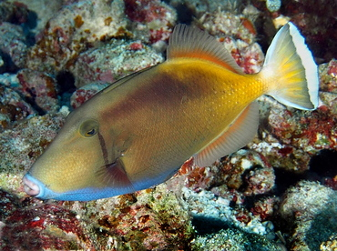 Flagtail Triggerfish - Sufflamen chrysopterum - Palau