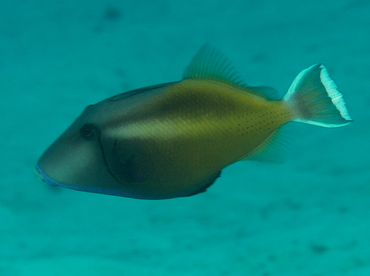 Flagtail Triggerfish - Sufflamen chrysopterum - Wakatobi, Indonesia