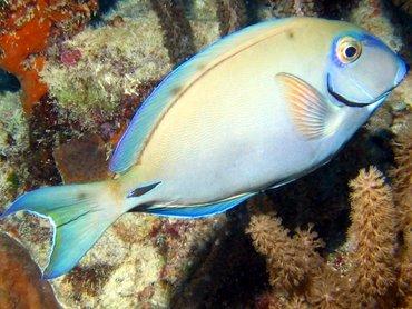 Ocean Surgeonfish - Acanthurus bahianus - Bonaire