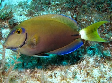 Ocean Surgeonfish - Acanthurus bahianus - Cozumel, Mexico