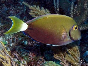 Ocean Surgeonfish - Acanthurus bahianus - Isla Mujeres, Mexico