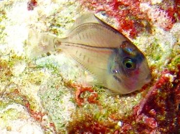 Ocean Surgeonfish - Acanthurus bahianus - Turks and Caicos