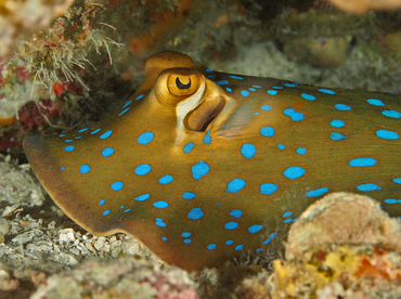 Bluespotted Ribbontail Ray - Taeniura lymma - Wakatobi, Indonesia