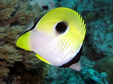Teardrop Butterflyfish - Chaetodon unimaculatus - Palau