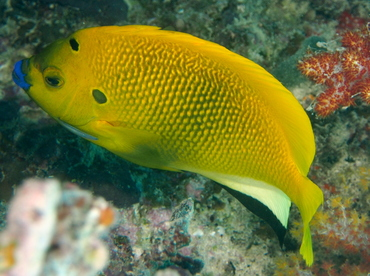 Threespot Angelfish - Apolemichthys trimaculatus - Fiji