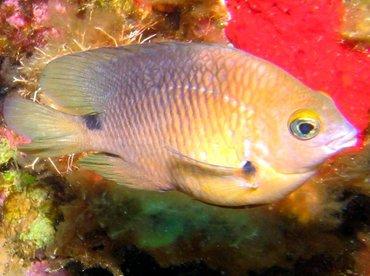 Threespot Damselfish - Stegastes planifrons - Damselfis