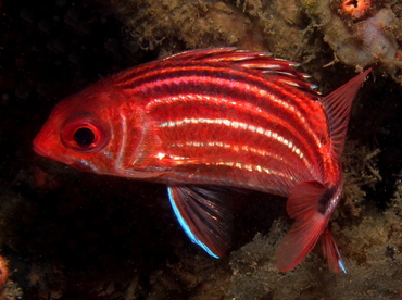 Three-Spot Squirrelfish - Sargocentron cornutum - Lembeh Strait, Indonesia
