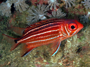 Three-Spot Squirrelfish - Sargocentron cornutum - Anilao, Philippines