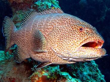 Tiger Grouper - Mycteroperca tigris - Grand Cayman