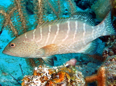 Tiger Grouper - Mycteroperca tigris - Belize