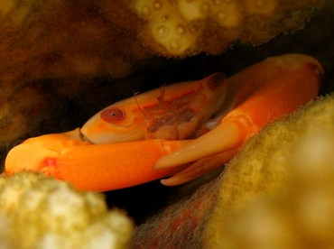 Two Tooth Guard Crab - Trapezia bidentata - Palau