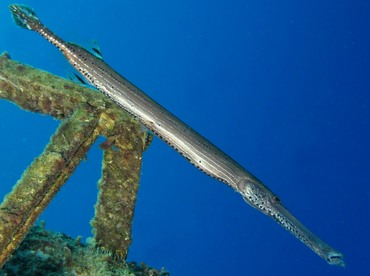 Trumpetfish - Aulostomus maculatus - Grand Cayman