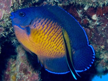 Two-Spined Angelfish - Centropyge bispinosa - Yap, Micronesia