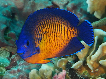 Two-Spined Angelfish - Centropyge bispinosa - Palau