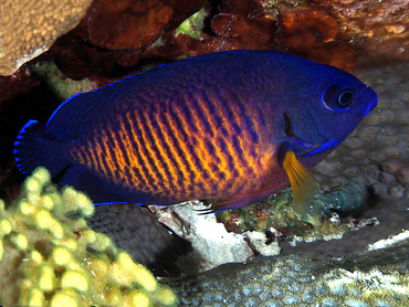 Two-Spined Angelfish - Centropyge bispinosa - Great Barrier Reef, Australia