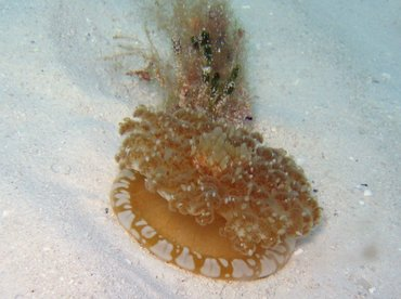 Upsidedown Jelly - Cassiopea frondosa - Turks and Caicos