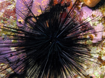urchin8 - FREE LARGE black spiny urchin