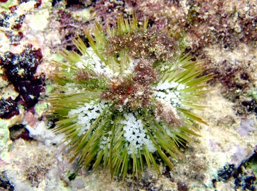 Variegated Urchin - Lytechinus variegatus - Grand Cayman