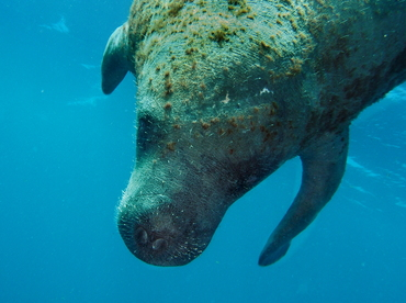 West Indian Manatee - Trichechus manatus - Belize