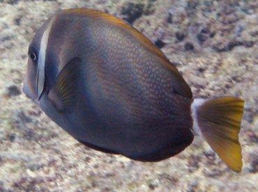 Whitebar Surgeonfish - Acanthurus leucopareius - Maui, Hawaii
